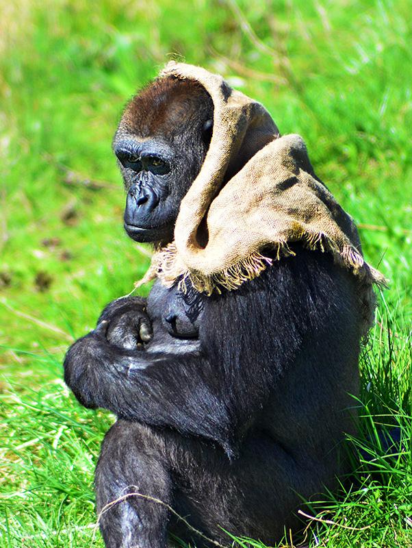 Photo of babushka gorilla