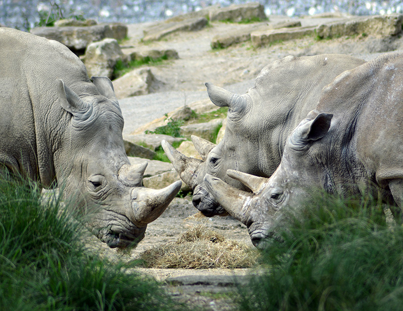 Photo of southern white rhinos